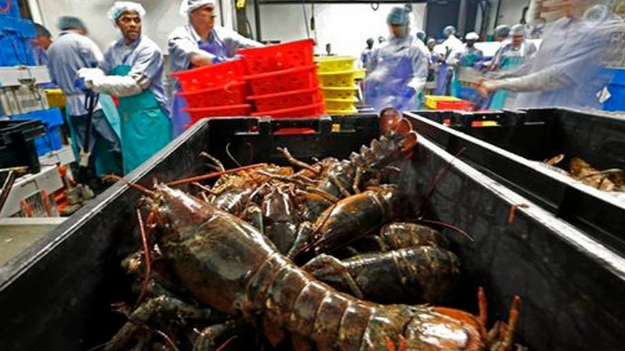 FILE - In this June 20, 2014, file photo, lobsters are processed at the Sea Hag Seafood plant in Tenants Harbor, Maine.
