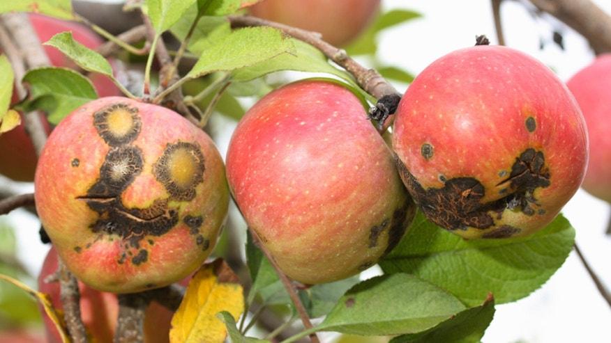 Will an ugly apple a day keep the doctor away?