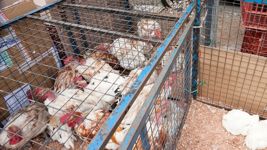 Louhans, France -- June 4, 2012: Live chickens on sale at weekly farmers market in Louhans.