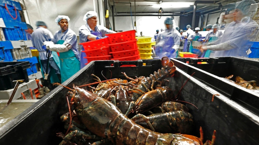 Live lobsters are processed at the Sea Hag Seafood plant in Tenants Harbor, Maine.