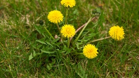 Dandelions are a popular form of weed.