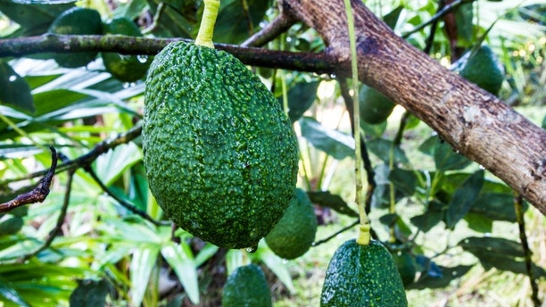 Avocados Growing on Tree in north thailand