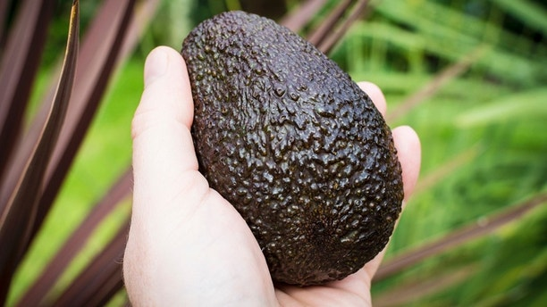 A male left hand grasping a good sized avacado fruit. Plants in background.