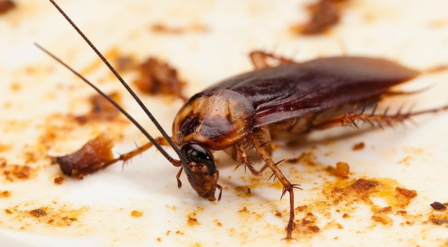Cockroach on Dirty Plate