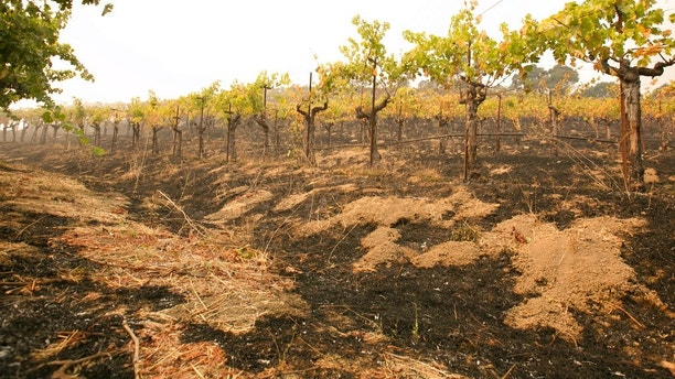 Grape vines sit among the scorched ground ot the Robert Sinskey Vineyard, Monday, Oct. 9, 2017, in Napa, Calif. Wildfires whipped by powerful winds swept through Northern California sending resident on a headlong flight to safety through smoke and flames as homes burned. (AP Photo/Rich Pedroncelli)