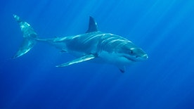 great white shark istock