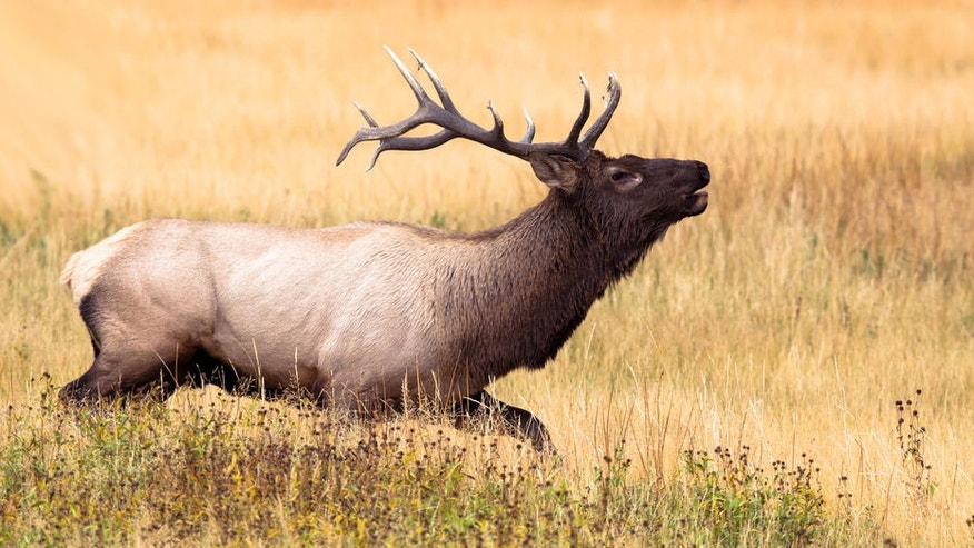 The two men killed two Wyoming bull elk, similar to the one pictured above.