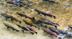 King Salmon spawning in a Pacific Northwest river