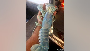An Aug. 24, 2017 photo provided by Alex Todd shows lobster with a a translucent shell, caught by Maine lobsterman Todd off the coast of Maine, next to a regular lobster. The photo was taken before the lobster was tossed back into the Atlantic Ocean. (AP Photo/Alex Todd)