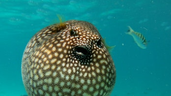 Scuba diving with a puffer fish, Moorea island french Polynesia