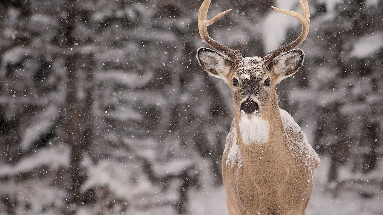 How to read deer tracks in the snow