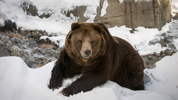 grizzly bear reuters