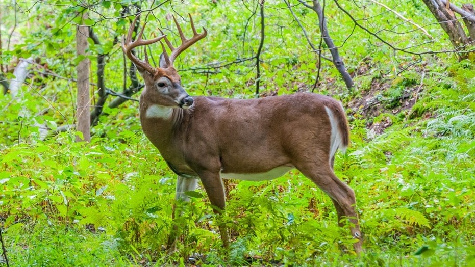 Authorities in Colorado and Pennsylvania are hoping to curb the spread of CWD — which affects the central nervous system of deer, elk and moose — with new regulations.