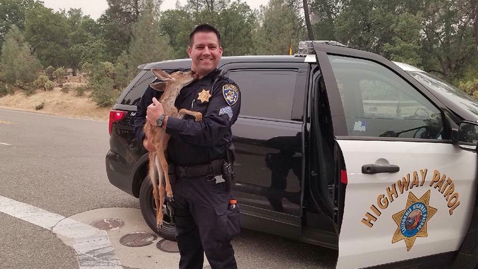 California Highway Patrol Sgt. David Fawson holds a month-old fawn that was located by Cal Fire without a mother insidere the Carr Fire line near Redding, Calif. Sawson evacuated the deer to safety for care with a wildlife rescue.
