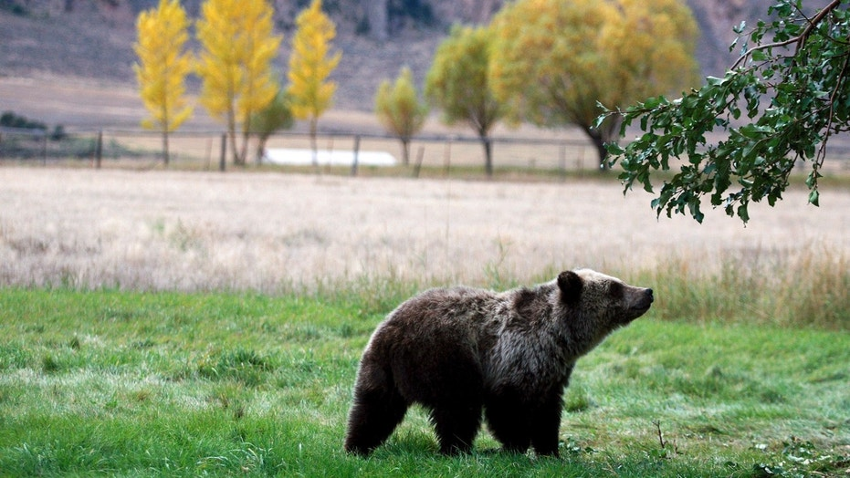 Idaho Fish and Game Department staffer Toby Boudreau said Friday the ruling delays the bear hunting season opening but has no other consequences.
