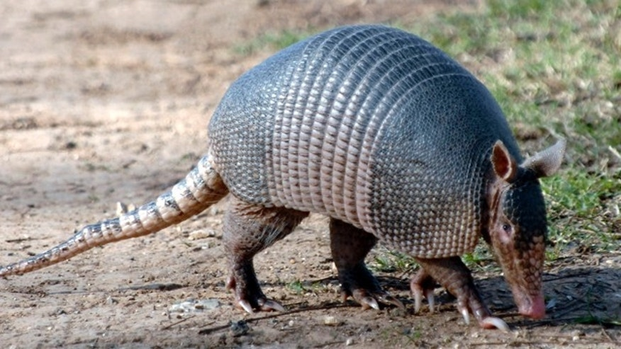 This Jan. 15, 2009 picture made available by the Texas Parks and Wildlife Department shows a nine-banded armadillo in Texas.