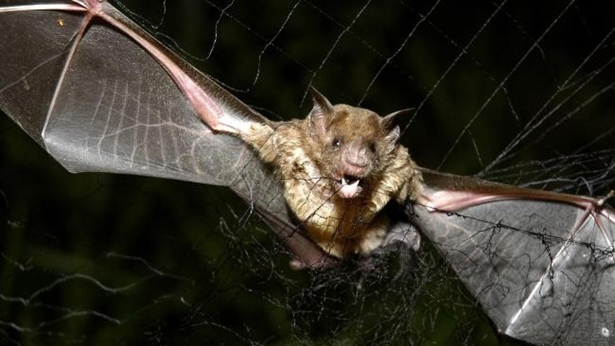 A vampire bat is caught in a net in Aracy, in the northeast Amazon state of Para, Brazil.