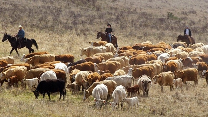 FEATURE CATTLE DRIVE