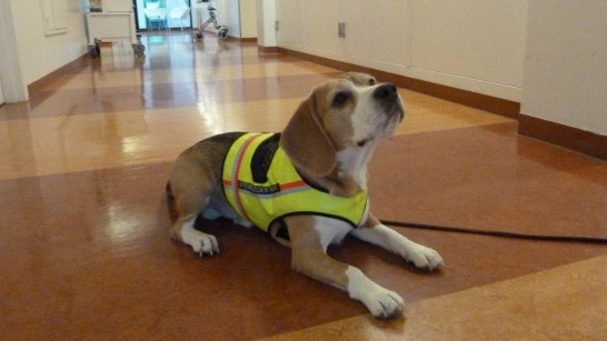 Two-year-old Cliff has been trained to sit or lie down when he detects the smell of C. difficile.