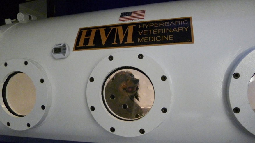 Jan. 25, 2013: A dachshund named Maggie is treated in a hyperbaric chamber for an infection and paw wound at the University of Florida's College of Veterinary Medicine, in Gainesville, Fla.