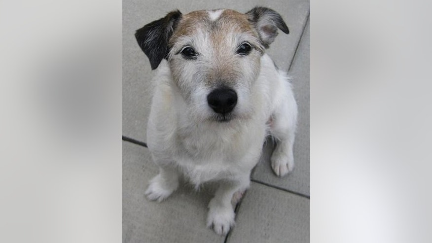 This undated image provided by BluePearl Veterinary Partners shows the Jack Russell terrier named Jack that swallowed 111 pennies. The 13-year-old pooch's owner rushed him to a Manhattan veterinarian for emergency surgery Friday March 9, 2013 and doctors put him under anesthesia and methodically removed all 111 coins. (AP Photo/BluePearl Veterinary Partners)