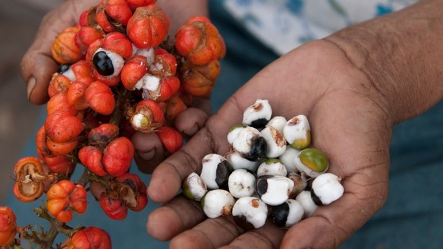 Hands holding the guarana fruit and the pulp of the guarana.