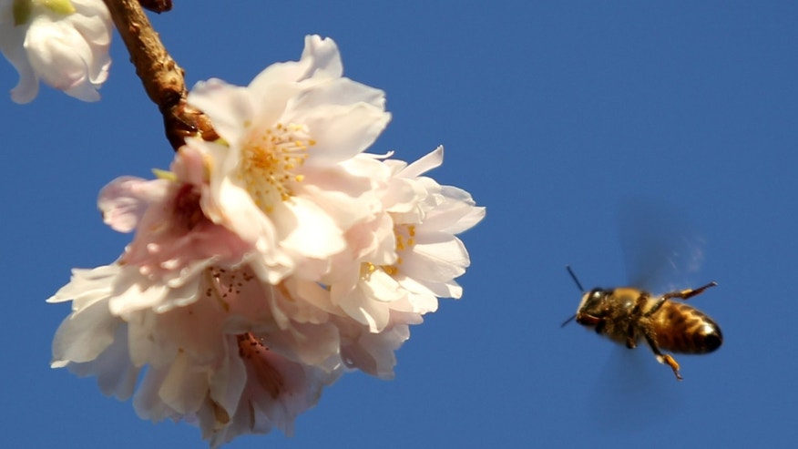LONDON, ENGLAND - DECEMBER 22:  A bee lands on Cherry blossom in Brockwell park on December 22, 2011 in London, England.  Britain continues to experience a milder than average Winter with temperatures expected to reach 57F/14C in places on Christmas Day.  (Photo by Dan Kitwood/Getty Images)