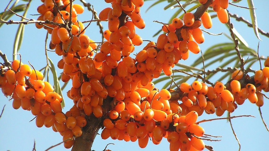 Sea buckthorn shrub.