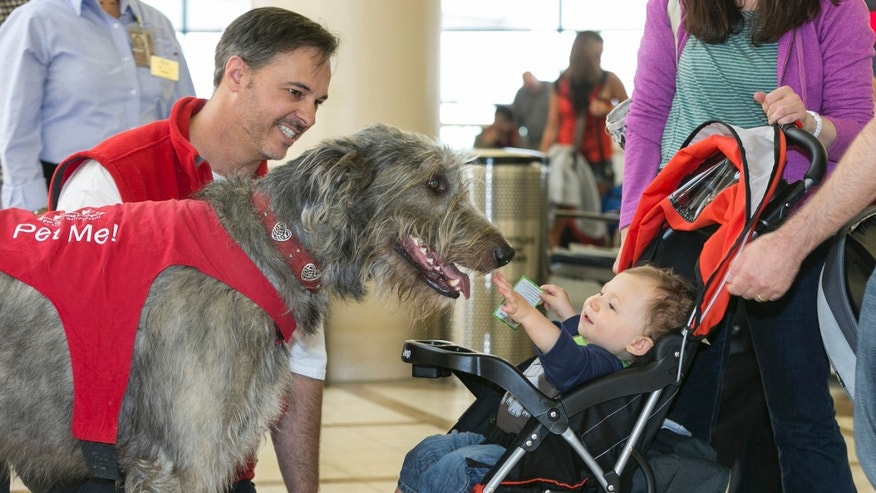 In this photo taken Tuesday, May 21, 2013, Pets Unstressing Passengers (PUPs) volunteer Brian Valente, left, with his dog, Finn, greet the Bloom family with their 13-month-old son, Jacob, at the Los Angeles International Airport  terminal.