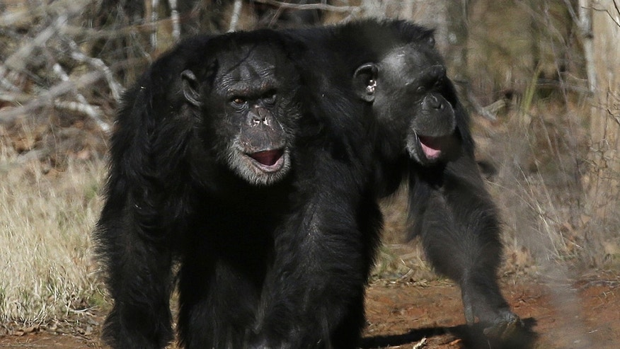 This photo shows two chimps walking together at Chimp Haven in Keithville, La. The government is about to retire most of the chimpanzees who've spent their lives in U.S. research labs.