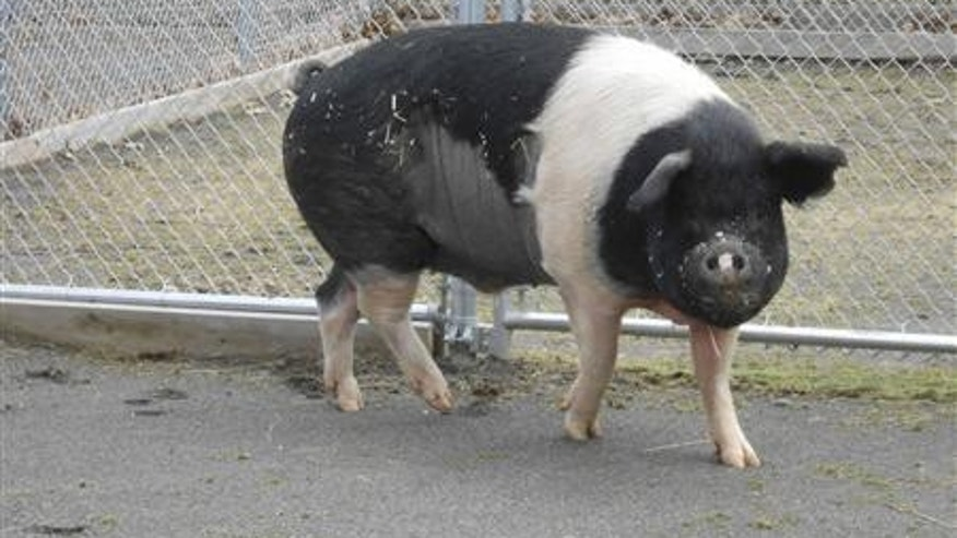 Nemo, a 730-pound (331-kg) Hampshire pig, is pictured at the Cornell University Hospital for Animals (CUHA) in this photo by the university released to Reuters on July 24, 2013. Credit: Reuters/Cornell University/Handout via Reuters
