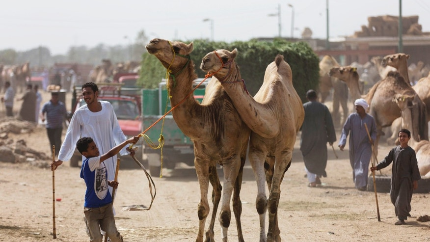 A boy leads camels at a weekly camel market in Birqash, Egypt. (AP Photo/Hiro Komae)