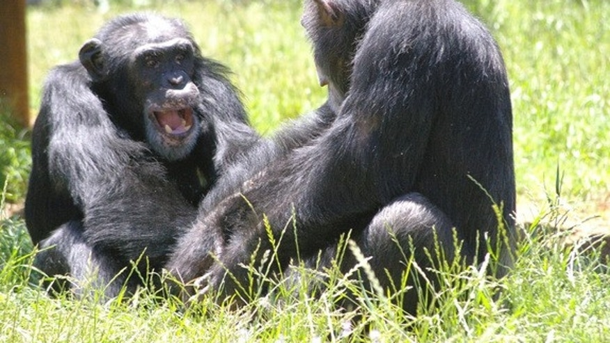 Chimpanzees at Chimp Haven, a national chimpanzee sanctuary in Louisiana, grooming and playing with one another.