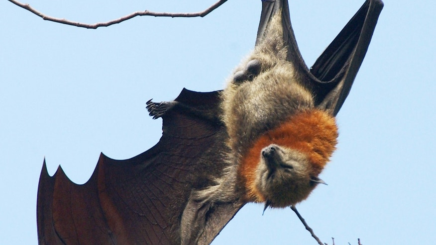 A grey-headed flying fox bat stretches from it's perch in the tops of trees, where they will spend most of their day, in the Royal Botanic Gardens in Sydney.