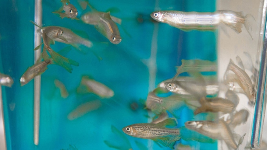 Zebrafish swimming in Baraban's lab at the University of California, San Francisco.
