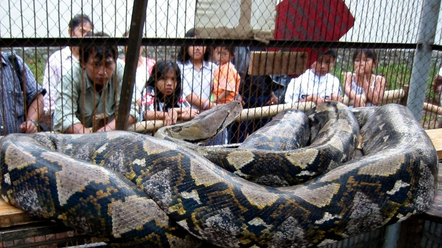 A huge reticulated python, which keepers say is a whopping 14.85 metres (48.7 feet), sits in its cage at a recreational park in Indonesia. A spa in Bali is now using pythons in massage treatments. (REUTERS/Dwi Oblo)