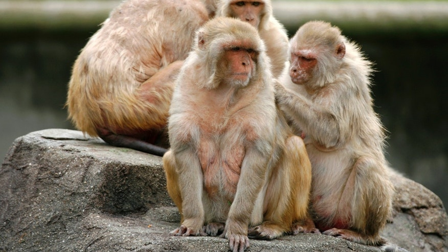 Rhesus monkeys gather at a park in Japan. A recent study on rhesus monkeys (not the monkeys shown here) showed a profound effect on researcher's ability to control HIV infection after a single injection of antibodies (REUTERS/Kiyoshi Ota)