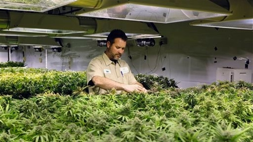 Tyler, no last name given, inspects marijuana plants at the Medicine Man dispensary in northeast Denver.