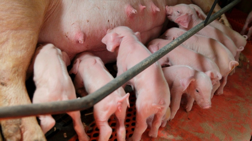 Newborn piglets suckle at Whiteshire Hamroc farm in Albion, Indiana March 16, 2012. The animals here at the Whiteshire Hamroc farm have been bred for one purpose: to be flown halfway around the world, on a journey fueled by China's appetite for food independence. In a country where pork is a culinary staple, the demand for a protein-rich diet is growing faster than Chinese farmers can keep up. While Americans cut back on meat consumption to the lowest levels seen in two decades, the Chinese now eat nearly 10 percent more meat than they did five years ago. Picture taken March 16, 2012. To match INSIGHT USA-CHINA/FOOD   REUTERS/John Gress (UNITED STATES - Tags: FOOD AGRICULTURE BUSINESS ANIMALS) - RTR30Z07