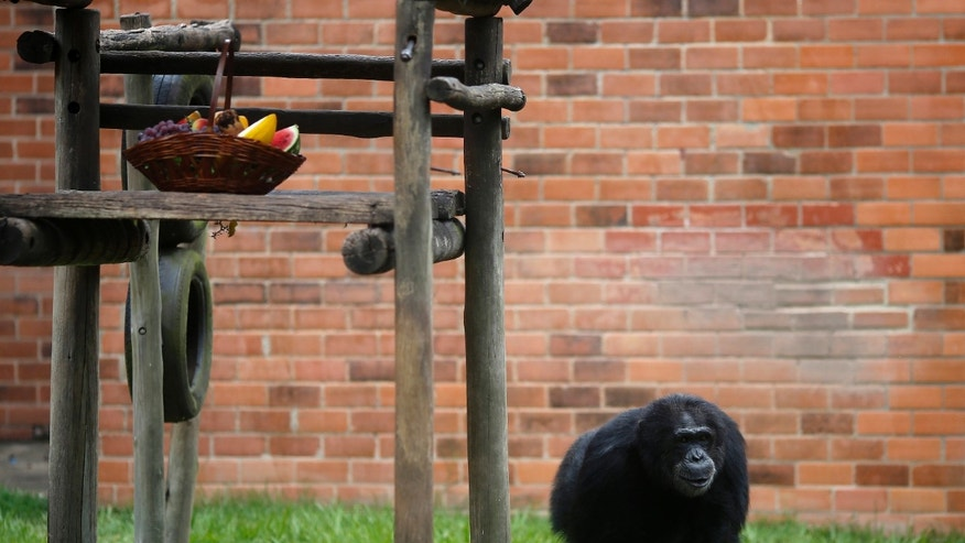 A chimpanzee walks in his cage at Rio de Janeiro's zoo December 18, 2012. (REUTERS/Ricardo Moraes)