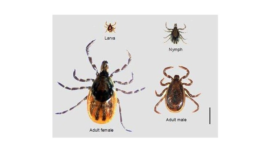 This image shows an adult female, an adult male, a nymph and a larva of the tick species Ixodes scapularis, which carries Lyme disease and babesiosis. (CDC courtesy of Dr. Marc Dolan)