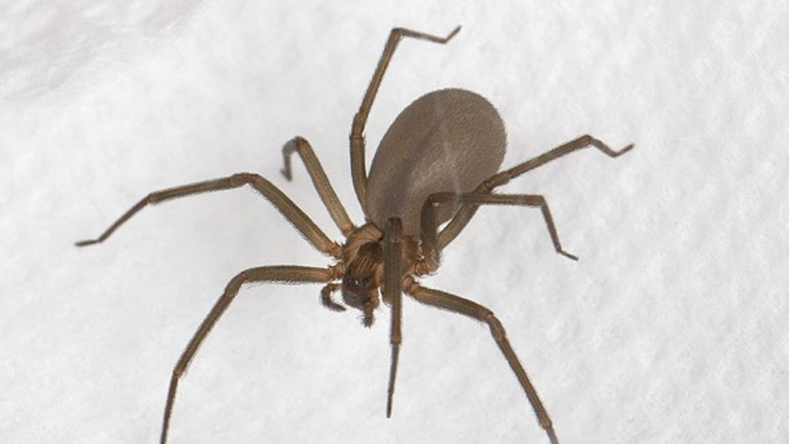 A brown recluse, <em>Loxosceles reclusa</em>. This spider is identified by a dark, violin-shaped mark on its head. Its venom can cause a deep wound in humans that takes weeks or even months to heal and can produce symptoms such as nausea and a
