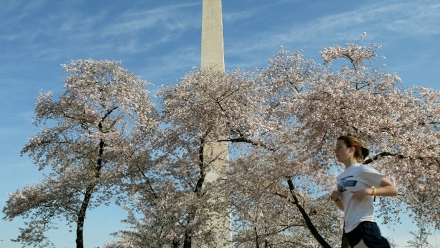 The Washington Monument looms above blooming cherry blossoms and a jogger, out for an early morning run near the tidal basin in Washington. (REUTERS/Gregg Newton)