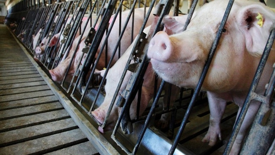 Pigs feeding at a farm in Indiana. (REUTERS/John Gress)