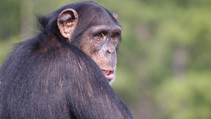 Jan. 23, 2012: A chimpanzee at Chimp Haven outside Shreveport, La., where nine fellow chimps from the University of Louisiana at were just sent after government scientists agreed to end lab research on the animals.