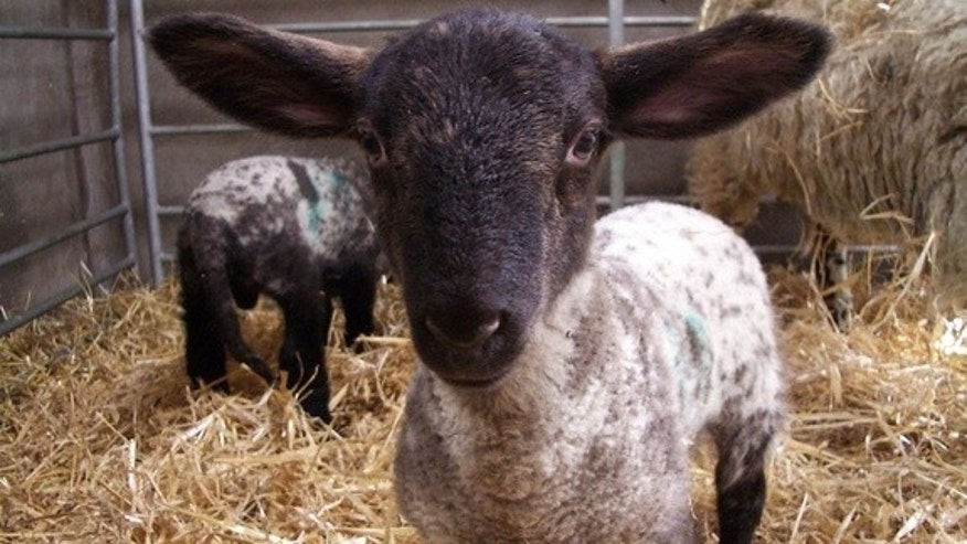 Lambs' pain sensitivity may be affected by their mothers' early life experiences with pain and stress, a new study finds.