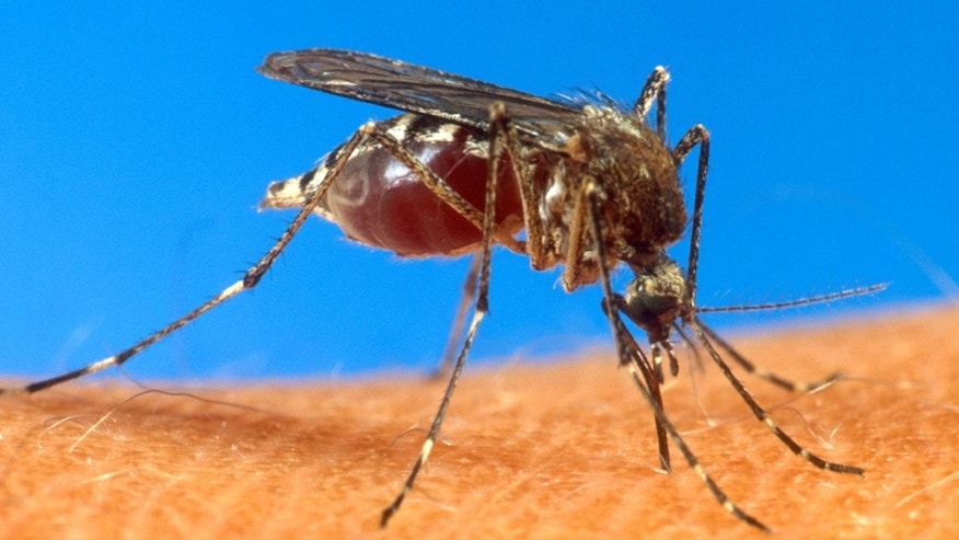 An aedes aegypti mosquito,  responsible for spreading the chikungunya virus,  is shown on human skin. (AP Photo/USDA, File)