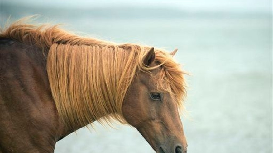 A wild horse walks along a beach with some freshly picked grass to eat  in Assateague State Park on July 15, 2014 in Berlin, Md.