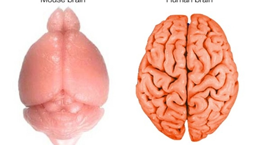 The human brain is relatively large and very wrinkled. Wrinkles increase the surface are for neurons.