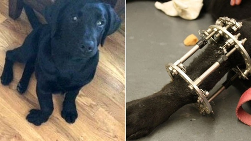 Lucy is shown before surgery to correct her right front paw, pictured left, and pictured right, is the device vets used to help correct her bone.